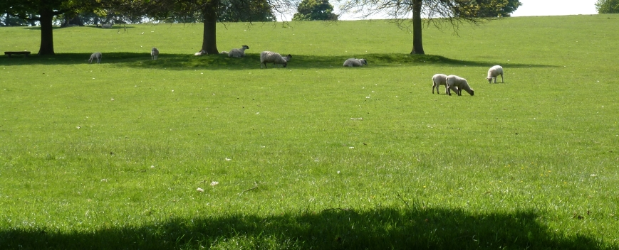 a sunny sheep's meadow
