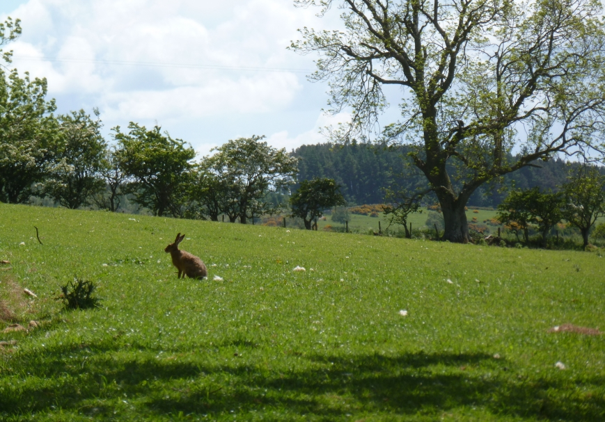 farm hare